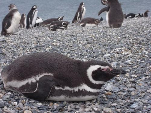 ごろりんペンギン