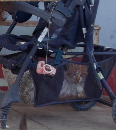 ベビーカーの猫