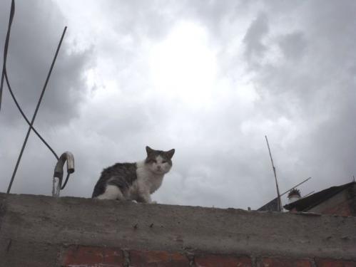 ワラスの猫