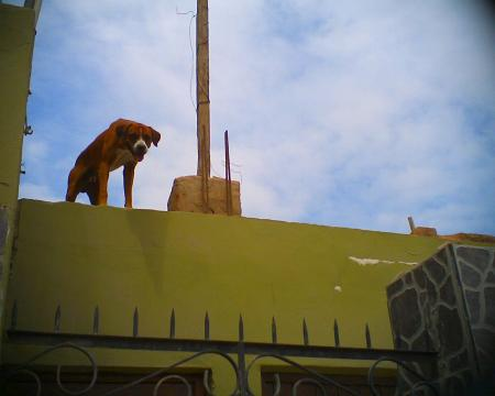 屋根の上の番犬