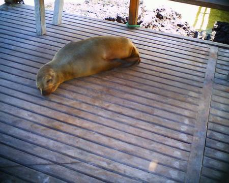 アザラシの昼寝