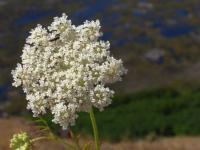 イースター島の火山に咲く花