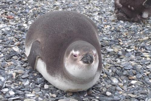 へちゃむくれペンギン