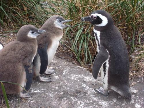 子育てペンギン