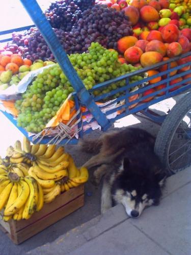 フルーツ屋台の犬