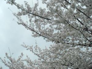 空に手を伸ばす桜