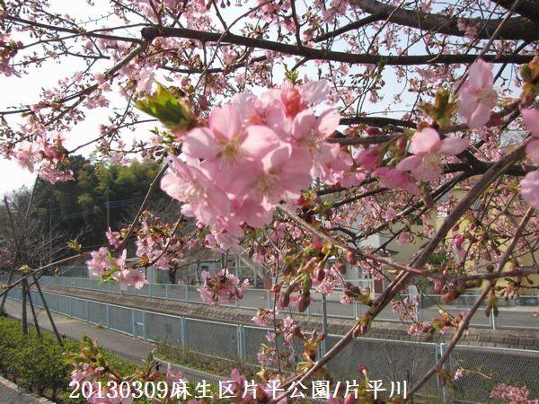 0310sakura02.jpg