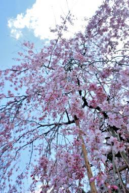 2011年3月26日波佐見しだれ桜 (29)