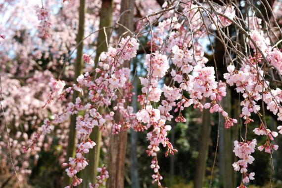 2011年3月26日波佐見しだれ桜 (28)_01