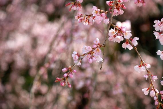 2011年3月26日波佐見しだれ桜 (21)_01