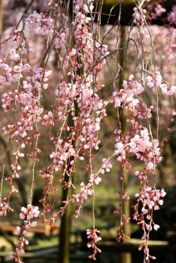 2011年3月26日波佐見しだれ桜 (16)_01