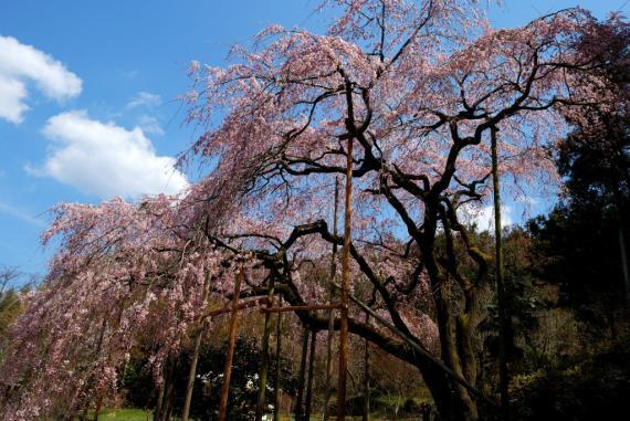 2011年3月26日波佐見しだれ桜 (11)_01