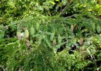 モミの木?