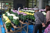 菊の展示2