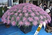 菊の展示1