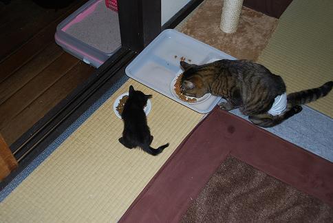 子猫用を食べなさい