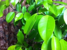 Green-ibuki.jpg