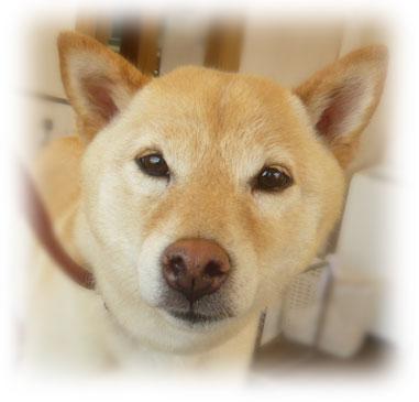 柴犬 コロ