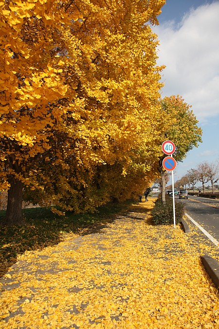 祖父江 黄葉祭り2009 黄葉の絨毯