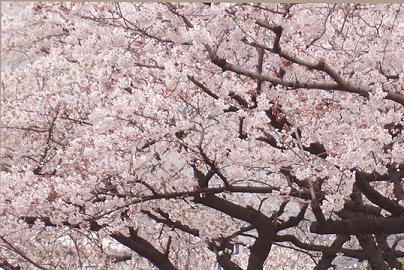 桜のナイヤガラ