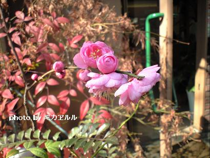 11.2月八重咲きの梅CA391374