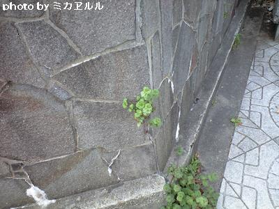 道端の花・久々CA391421[1]