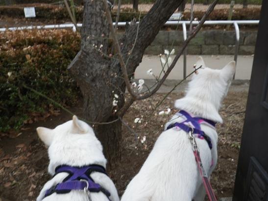 2013.2.4 梅が咲いたよ♪
