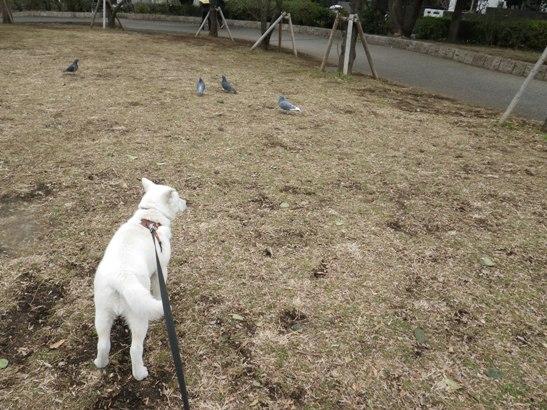 2013.2.18 鳩を狙う竜牙