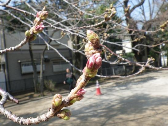 2013.3.16 今日の桜