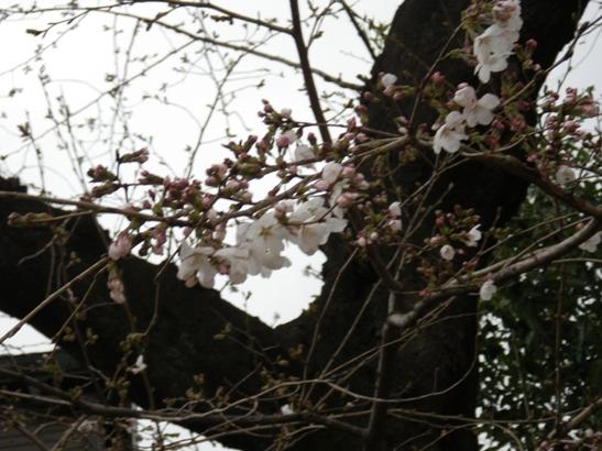 2013.3.18 今日の桜