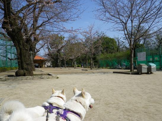 2013.3.19 今日の桜