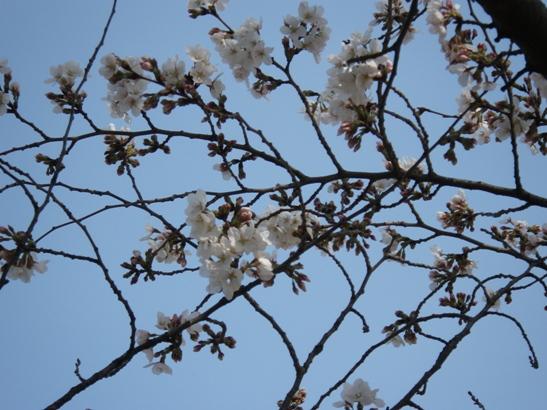2013.3.19 今日の桜3