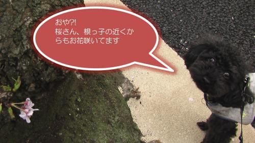 20130323sakuraDAIsuke.jpg