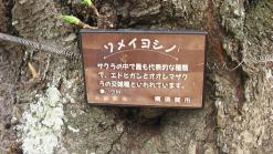 20130323sakuraSomeiYosino.jpg