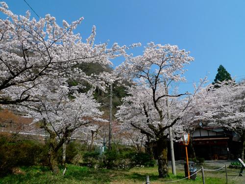 比叡山-桜