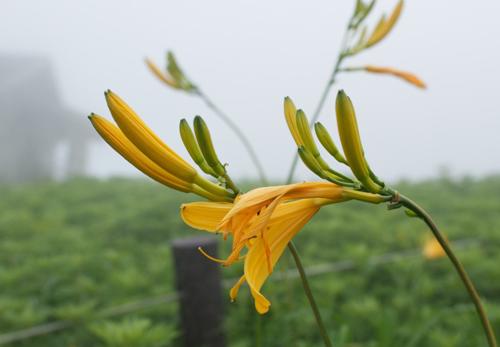 伊吹山のお花73-3