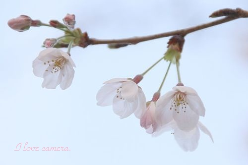 ソメイヨシノIMG_2012_04_02_4900sakura1