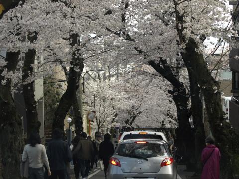 神戸灘桜のトンネル神戸の桜坂1