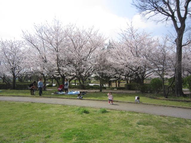 306桜 002