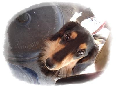 芝犬 メルDSC03710