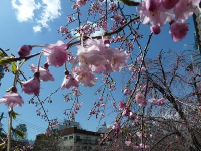 目黒川桜③4.4