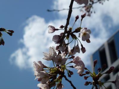 目黒川桜④4,4