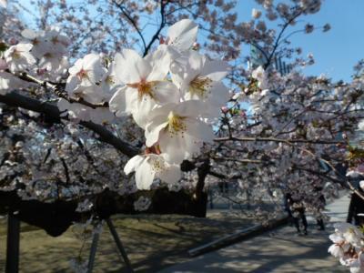 東工大桜③4.5