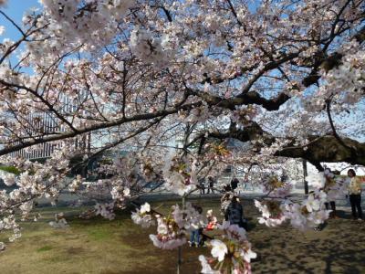 東工大桜②4.5