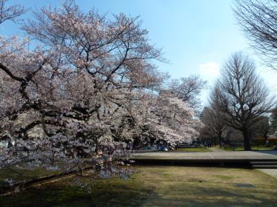 東工大桜①4.5