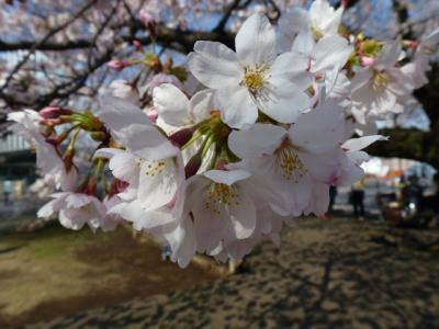 東工大桜④4.5