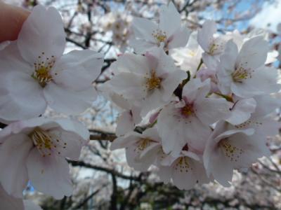 千鳥ヶ淵桜②4.6