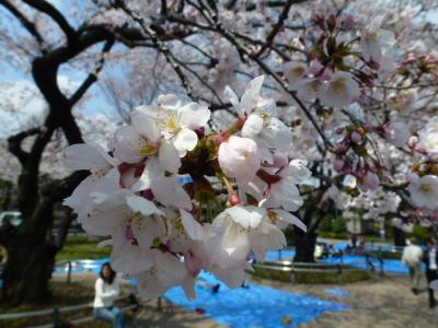 千鳥ヶ淵桜①4.6