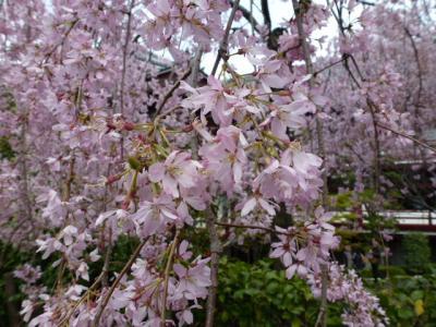 しだれ桜4.7