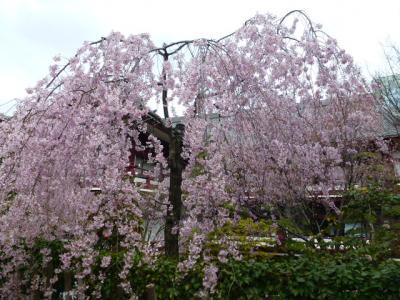 しだれ桜②4.7